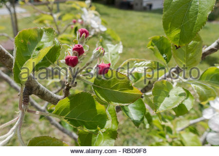new blossom on an apple tree - Stock Image
