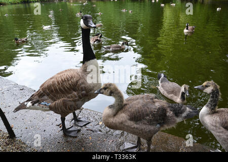 Geese on the lake in Christchurch Park, Ipswich, Suffolk, UK - Stock Image