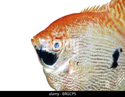 Angel fish closeup isolated on white - Stock Image