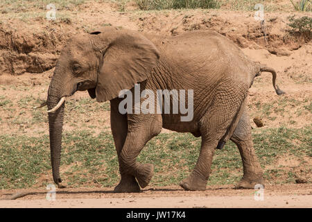 African Elephant pooing while walking - Stock Image