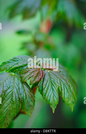 Fresh young Sycamore sapling leaves on a spring morning  -  Acer pseudoplantanus. - Stock Image