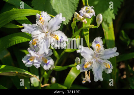 Iris Japonica flowers growing in north east Italy. Also known as Fringed Iris, Shaga or Butterfly Flower - Stock Image