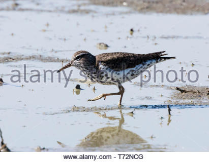 Spotted Sandpiper, Actitis macularia, walking in shallow pond in Arizona USA - Stock Image