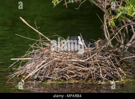 female Eurasian Coot, also known as Common Coot or Coot,(Fulica atra),incubating eggs in floating nest of twigs,Regents Canal, London, United Kingdom - Stock Image