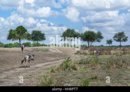 Real African wildlife, animals are walking free at their homeland, safari - Stock Image