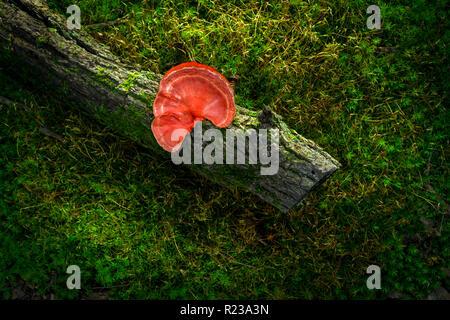 Red Fungus On log, Pennsylvania, USA - Stock Image