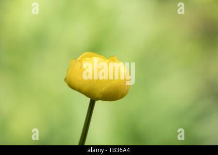 Globe Flower Trollius europeus Upper Teesdale County Durham - Stock Image