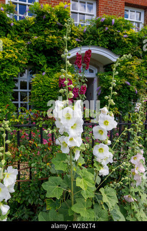 Tall pretty white hollyhocks flowering outside a town house in Cathedral Close, Salisbury, a cathedral city in Wiltshire, south-west England, UK - Stock Image