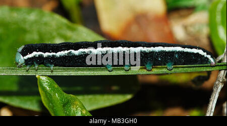 Black caterpillar (Aporophyla canescens), white striped and with green terminal extremeties in a lateral view. Pods, pseudopods and bucal parts visibl - Stock Image