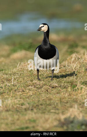 Barnacle Goose on Grassland - Stock Image