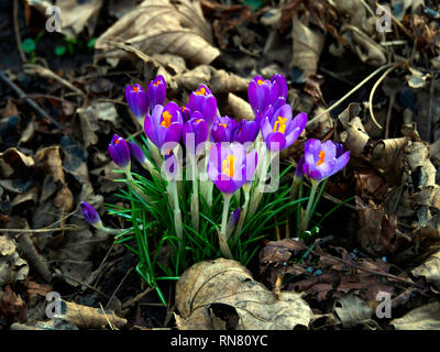 Early flowering spring crocuses blooming in February in North Yorkshire - Stock Image
