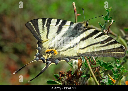 Scarce Swallowtail (Iphiclides podalirius), Thasos, Greece - Stock Image