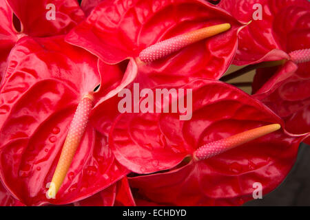 Mauritius, Mahebourg, red anthurium flowers displayed outside florist's shop - Stock Image