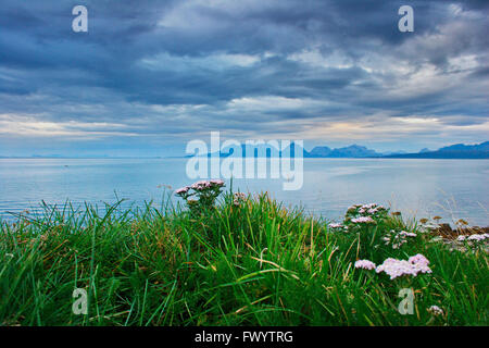 Achillea flowers are growing on the coast of Andøya, an island belonging to the Vesterålen archipelago. - Stock Image