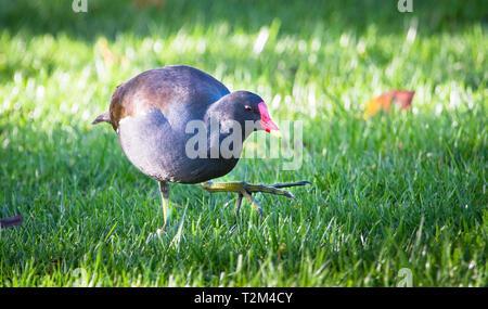 A common moorhen (Gallinula chloropus) walking in a grassy field. - Stock Image