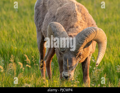 Bighorn Sheep Bends Down to Graze on grassy field - Stock Image