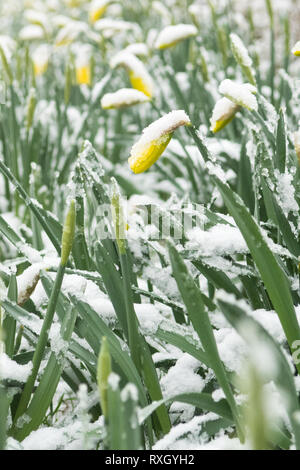 Killearn, Stirlingshire, Scotland, UK - 10 March 2019: UK weather - Daffodils just about to bloom are covered in snow in the Stirlingshire village of Killearn Credit: Kay Roxby/Alamy Live News - Stock Image