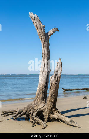 Dead tree, Driftwood beach, Jekyll Island, GA, USA - Stock Image