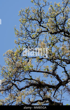 Blossoming Sal Tree, Shorea robusta, also known as sakhua or shala tree, Bandhavgarh National Park, Umaria district, Madhya Pradesh, India - Stock Image