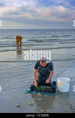 Shrimpers sorting catch from shrimp drag net / dragnet on the beach caught along the North Sea coast at dusk - Stock Image