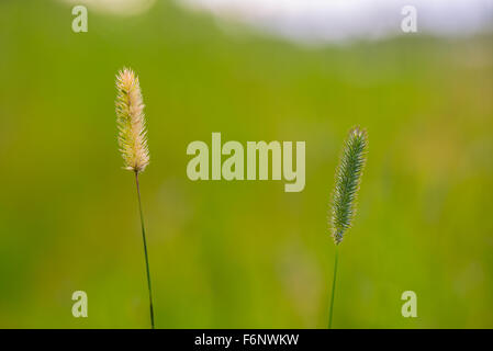 Closeup of timothy hays in meadow - Stock Image