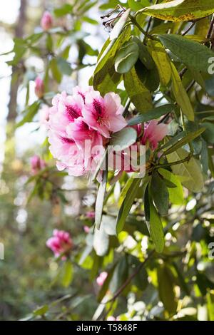 Pink rhododendron blossoms in Hendricks park in Eugene, Oregon, USA. - Stock Image