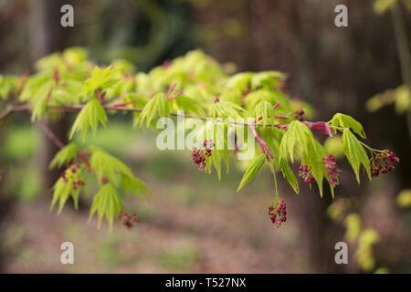 Acer shirasawanum 'Jordan' Japanese maple tree at the Oregon Garden in Silverton, Oregon, USA. - Stock Image