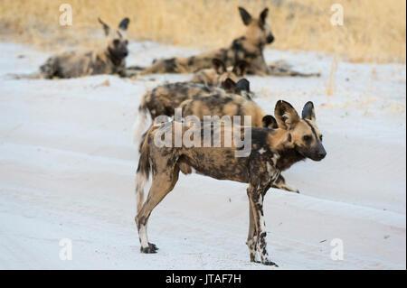 African wild dog (Lycaon pictus), Savuti, Chobe National Park, Botswana, Africa - Stock Image