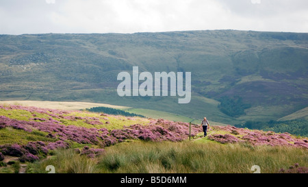 walker walk walking The National Trust High Peak Estate William Clough right to roam Peak District National Park - Stock Image