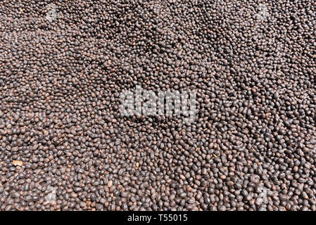 Coffee beans drying in the sun on a coffee plantation - Stock Image