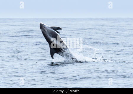 White-beaked dolphin, Lagenorhynchus albirostris, back flip, near the Farne Islands, near Newcastle, North Sea, - Stock Image