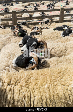 Swaledale sheep awaiting shearing at the Great Yorkshire Show. - Stock Image