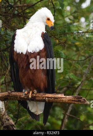 An African fish eagle (Haliaeetus vocifer) perches on a branch watching the water of Lake Mburo.  Lake Mburo National Park, Uganda. - Stock Image