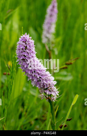 Common spotted orchid wild flower - Stock Image