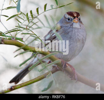 Juvenile White-crowned Sparrow (Zonotrichia leucophrys) perched on a branch in the deserts of Southern California. - Stock Image