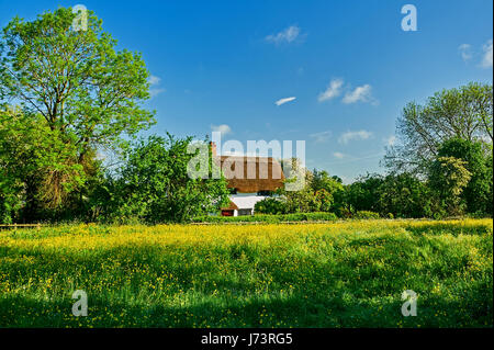 White walled thatched cottage and a field of buttercups in Shottery, Stratford upon Avon - Stock Image