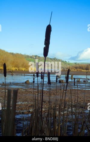 reeds at the edge of a reservoir, Ireland - Stock Image