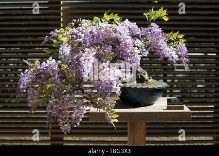 Chinese Wisteria - Wisteria Senensis - bonsai age 30 years, at Portland Japanese Garden in Portland, Oregon, USA. - Stock Image