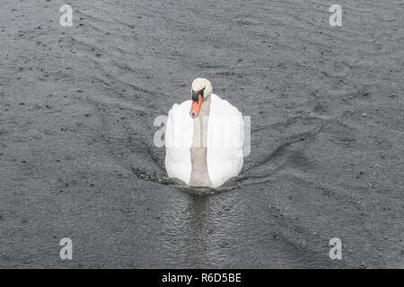 Swan in the rain heading towards the camera - Stock Image
