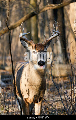 White-tailed deer buck sticking his tongue out. Odocoileus virginianus. Thatcher Woods Forest Preserve, Illinois. - Stock Image