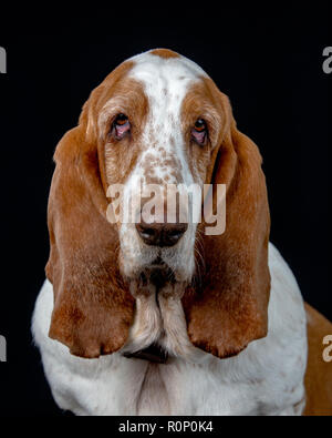 Close-up of a  Basset Hound staring into camera - Stock Image