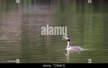 An adult great crested grebe (Podiceps cristatus) swimming in a pond at the Wood Lane Nature Reserve in Shropshire, England. - Stock Image