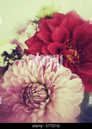 Dahlia flowers with grunge effect - Stock Image