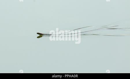Swimming snake - Stock Image