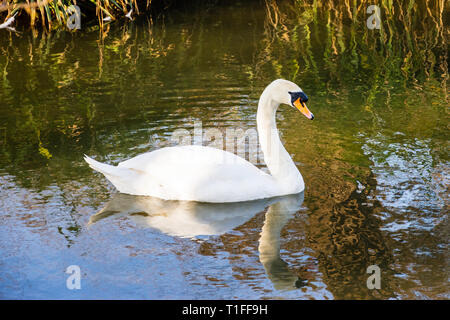 A mute swan Cygnus olor on calm water with reflections of itself and the reeds of the bank - Stock Image