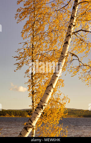 The autumn colored leaves of a birch tree are fluttering in the wind on a sunny morning at a forest lake in southern Lapland. - Stock Image