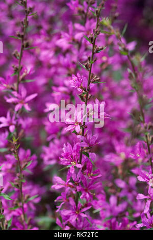 Lythrum salicaria flowers. - Stock Image