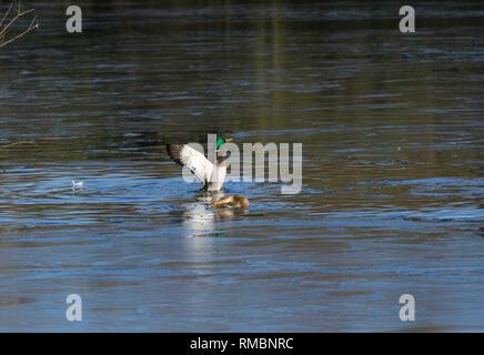Pair Mallard ducks judt after mating Milton Park Cambridge - Stock Image