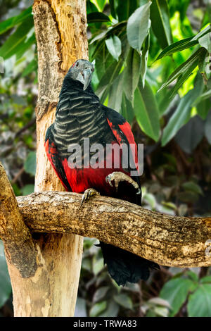 Pesquet's parrot / vulturine parrot (Psittrichas fulgidus) perched in tree, native to the rainforests in New Guinea - Stock Image