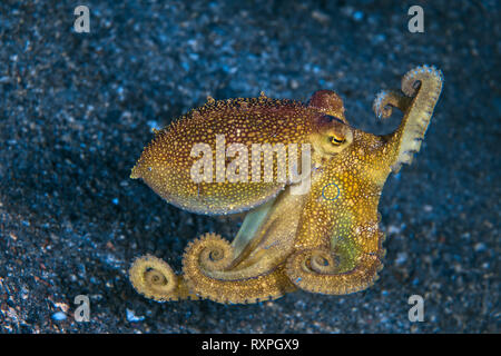 Venomous Mototi octopus (Amphioctopus mototi) displays blue ring as it escapes, skipping along the sea floor. Lembeh Straits, Indonesia. - Stock Image